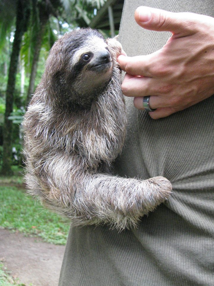 Cute baby sloth hanging onto a rescue center worker at the Jaguar Rescue Center in Costa Rica