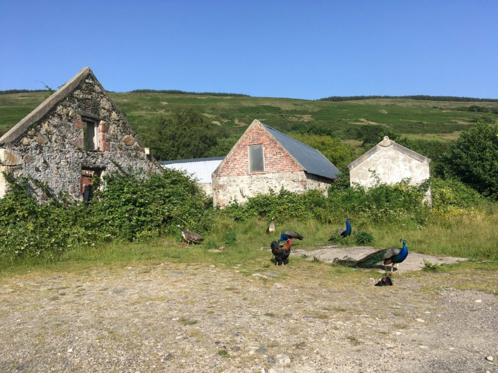 Peacocks and peahens by an abandoned stone house in Scotland
