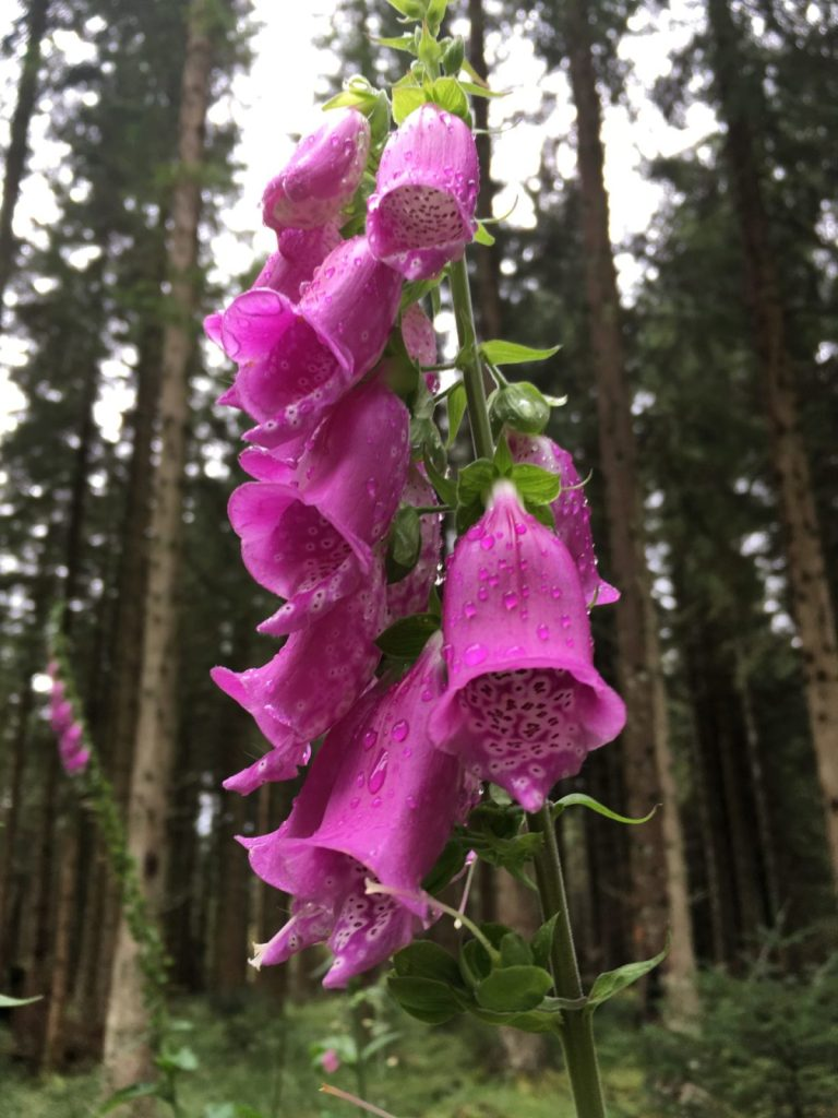 beautiful foxgloves on a walk around Pitlochry