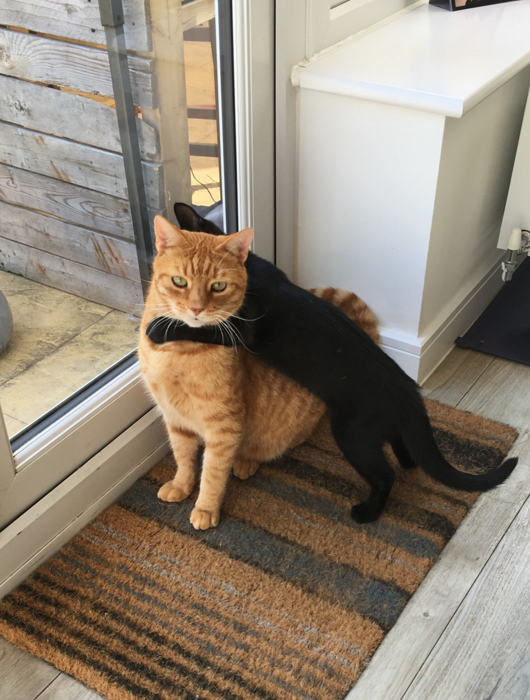 black kitten and ginger tom about to wrestle