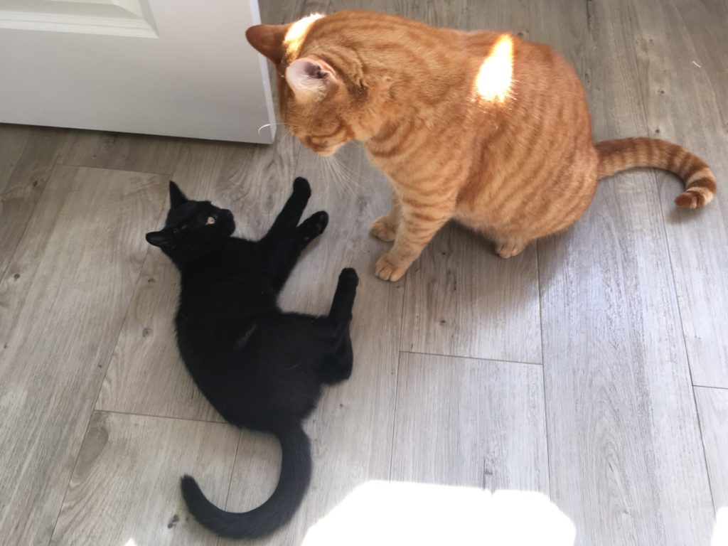 ginger cat and black kitten thinking about wrestling