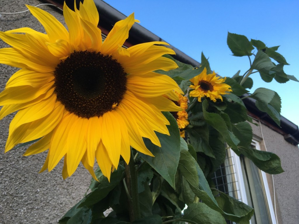 Sunflower faces against a bright blue sky