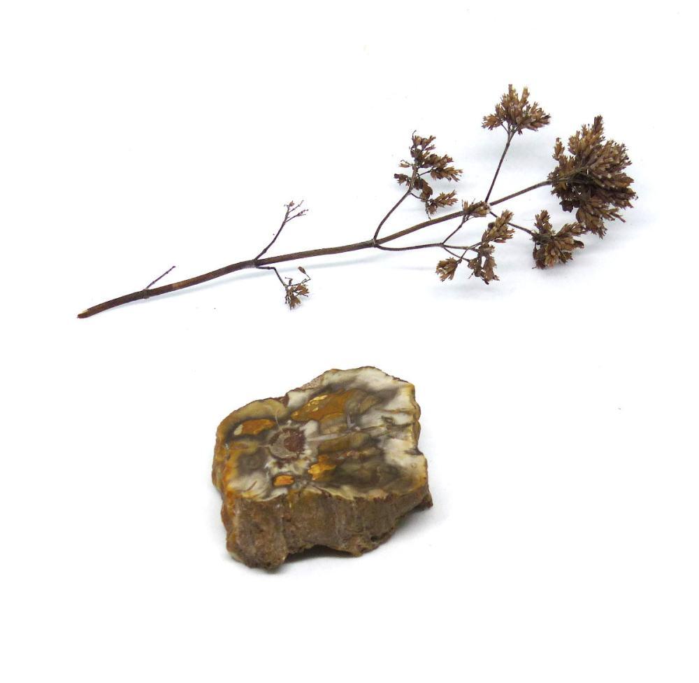 Tranche de bois fossile, modèle 1