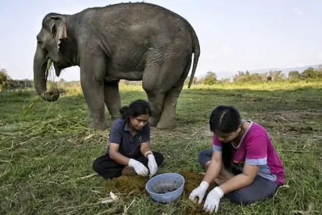 son las mujeres de los guías de elefantes quienes extraen los granos