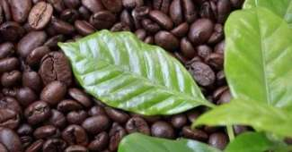 Infusión con las hojas de café