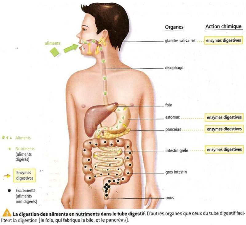 shakeology enzymes digestives