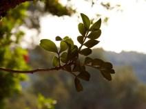 Mastic leafs