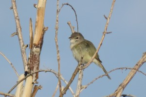 A least Bell's vireo, an endangered bird which thrives in the mesquite habitat that the springs on the Amargosa provide.