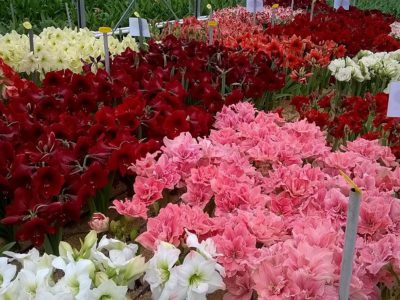 amaryllis assortment