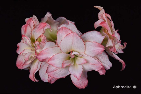 Amaryllis Aphrodite close