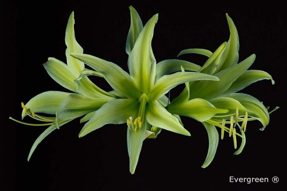 Amaryllis Cybister Evergreen close