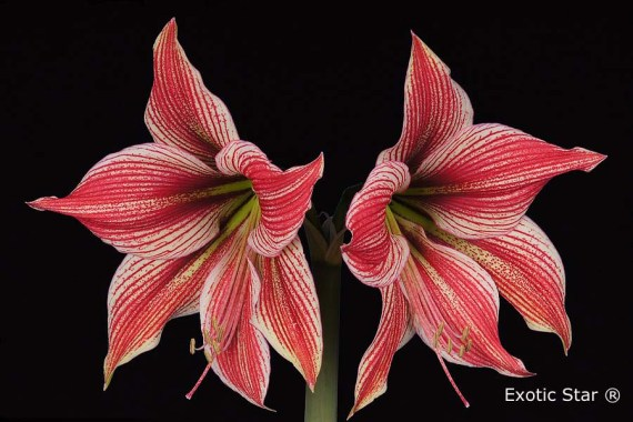 Amaryllis Exotic Star close