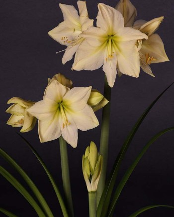 Lemon Star Amaryllis