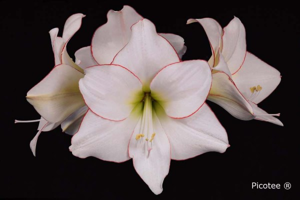 Amaryllis Picotee close