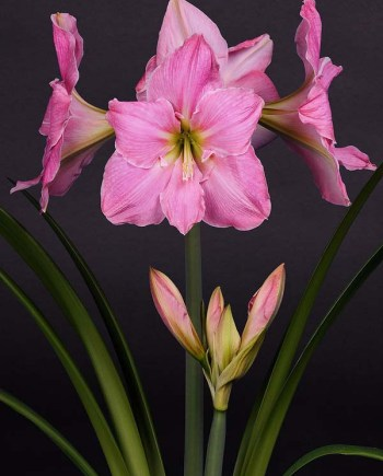 Sweet Star amaryllis