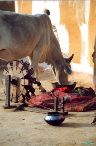 A small horned cow steps past an ancient spinning wheel and enjoys peelings and old bread from a steel bowl placed outside the house for the purpose