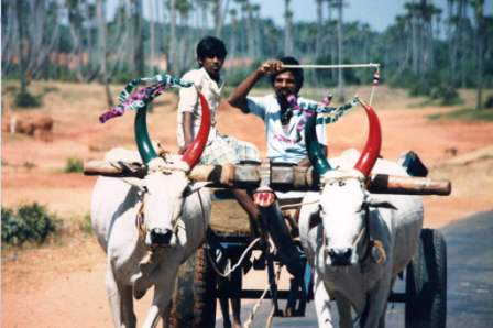 Off to market with freshly decorated oxen for Pongal festival