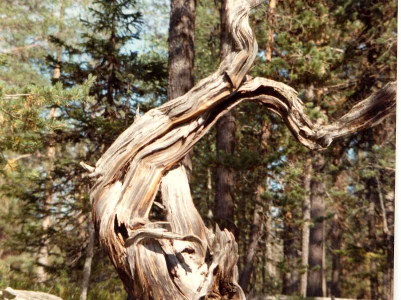 Forest Arabesque, northern Sweden