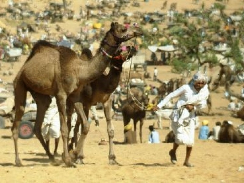 An elderly man in Rajasthani traditional clothes leads a pair of skittish young camels through a festival crowd