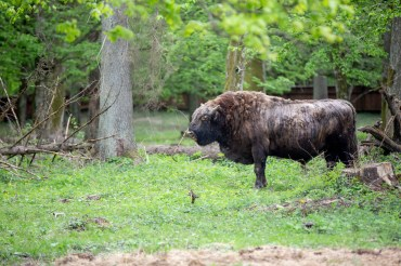 A huge bison standing in a grassy part of the enclosure with trees behind him in the background. This one wasn't actually pure bison, it was mixed with a cow which resulted in an even bigger animal.