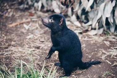 trowunna-wildlife-tasmania-02