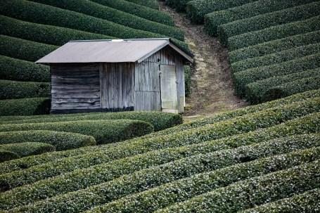 wazuka kyoto tea plantations