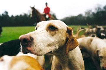Hon na lišku, Anglie, fotografování, psi