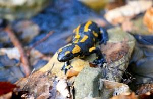 Mlok skvrnitý, salamandra salamandra, Bílé Karpaty, Kochavec