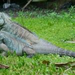 Tips Memelihara Iguana: Cara Menentukan Jenis Kelamin Iguana