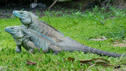 dua iguana