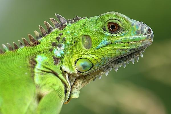 iguana hijau