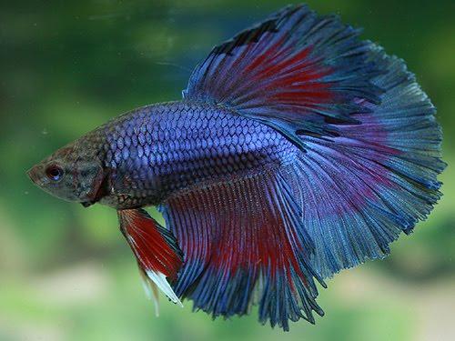 ikan beta