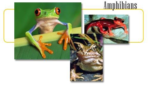 8300 Kumpulan Gambar Hewan Amfibi HD Terbaru