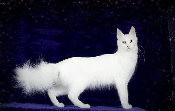 Kucing Angora Turki_2