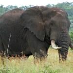 Gajah Semak Afrika: Fakta, Klasifikasi, Habitat & Perilakunya