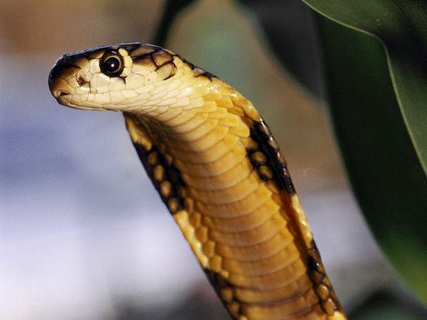20 Fakta Menarik tentang King Cobra (Raja Kobra)