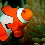 Wajib Tahu! 14 Fakta Menarik tentang Ikan Badut (Clownfish)