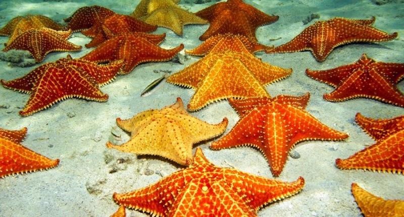 fakta bintang laut