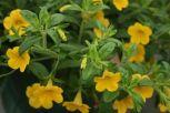 Cali neon yellow