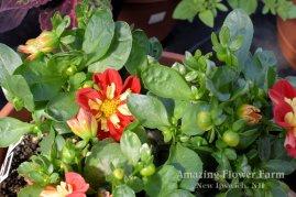 Dahlia Starsisters Scarlet & Yellow