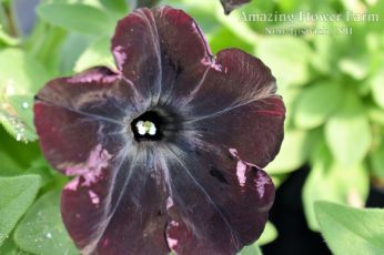 Petunia Night Magic