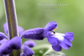 Salvia Sallyfun Blue Emotion