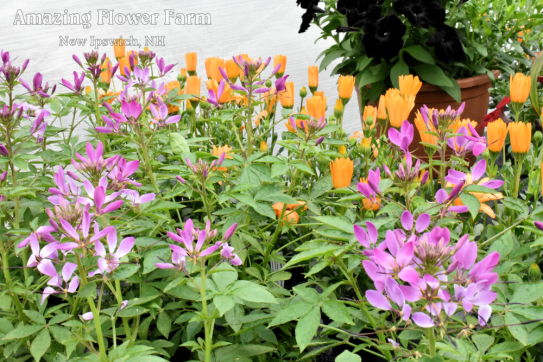 Cleome clio, osteo orange sunset