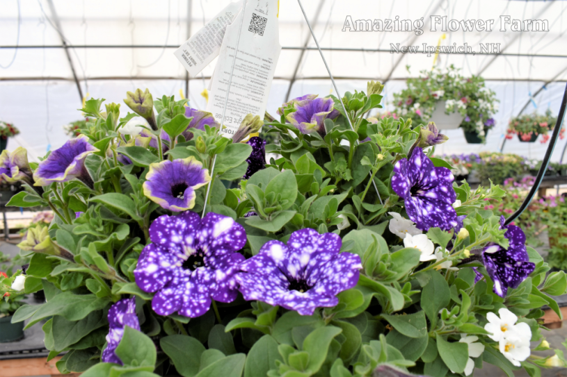 Fragrant! petunia night sky, moonlight eclipse, bacopa
