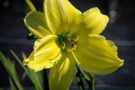 daylily-hudson-valley-Pollinator (honeybee mimic)-5779