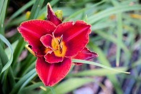 daylily-miracle-maid