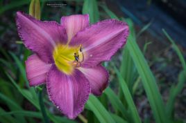 daylily-prairie Blue Eyes - 2-5813