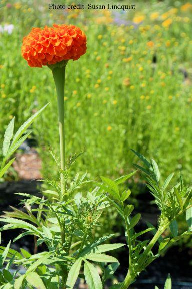 orange-slower-susan-lindquist