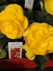 Begonia Nonstop Yellow