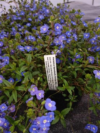 Veronica Speedwell Georgia Blue